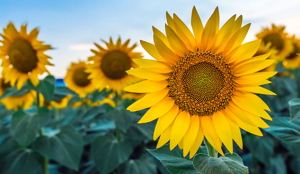 sunflower_images